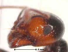 Ant 100 X